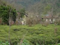 Teeplantage am Kaspischen Meer